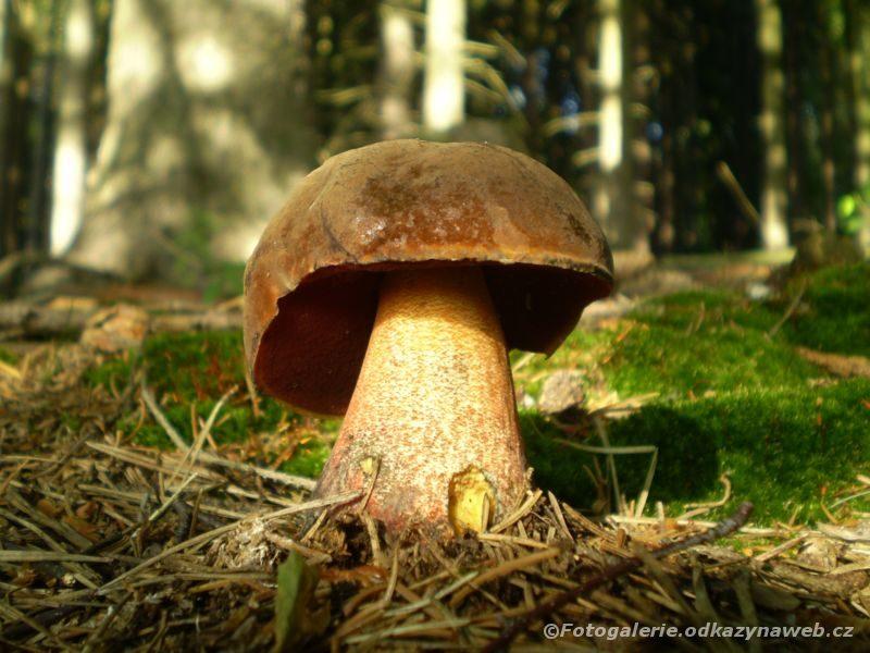 Hřib kovář klobouk houby je tmavohnědý hodně podobný se